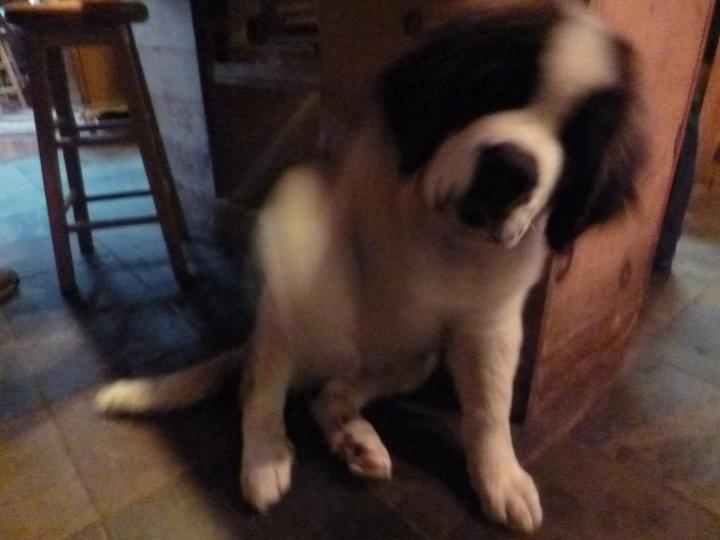 Beauregard - a St. Bernard pup