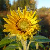 Frosty sunflower - this is how my dry winter skin feels like!